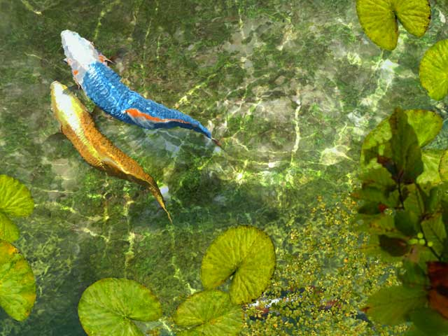 Koi fish 3d screensaver software informer screenshots for Real blue koi fish