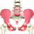 Interactive Pelvis and Perineum